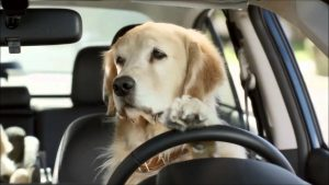 Fines Given For Animals Being Unrestrained In Cars